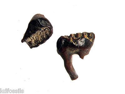 Cretaceous Hell Creek mammal tooth ALPHADON Lower Molar dinosaur beds