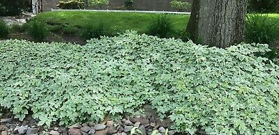 20 Variegated Snow On The Mountain Ground Cover Perennial Plants