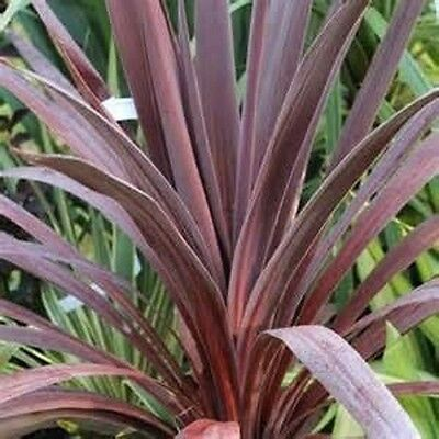 2 Cordyline Red Star Tubes Strappy Foliage Garden Plants