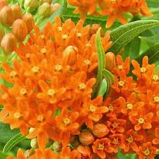 80 Butterfly Weed Native Wildflower Seeds - Gold Vault Jumbo Seed Packet