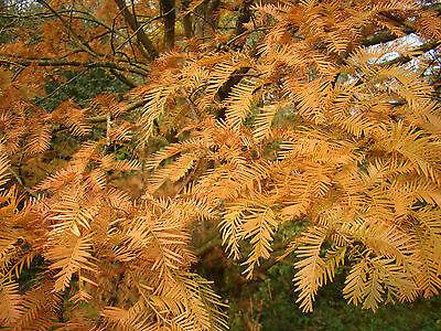 rare ornamental tree, bonsai tree, Dawn Redwood, METASEQUOIA, Autumn colours