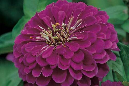 BUTTERFLY MAGNET FAST FLOWER SEEDS 50 ZINNIA DAHLIA GOLD MEDAL ROYAL PURPLE