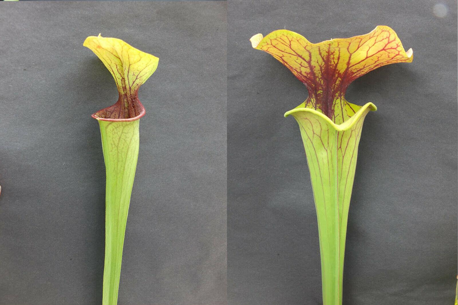 Sarracenia Hybrid Seeds - oreophila v. oreo x kimber red ruffles - Fresh 2021