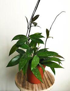 Hoya-carnosa-039-Publicalis-039-wax-plant-House-Plant-in-a-12cm