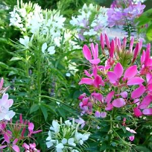 SPIDER FLOWER COLOUR MIXTURE SEEDS CLEOME SEED CUT FLOWER GARDEN 50 SEED PACK
