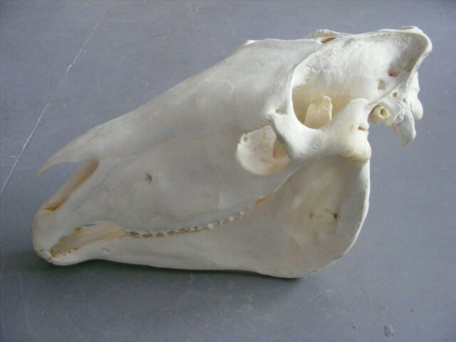 Horse Skull 3 head decor taxidermy hunting art