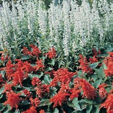 Salvia- White Victory- 50 Seeds-    50 % off sale