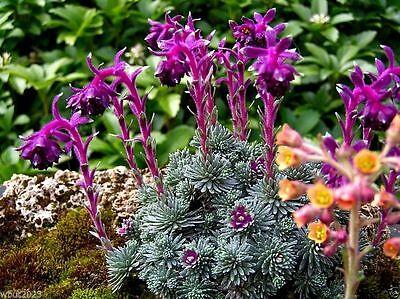 50 Sempervivum Seeds - (Saxifraga Sempervivum ),HouseleekHens and Chicks- Hardy