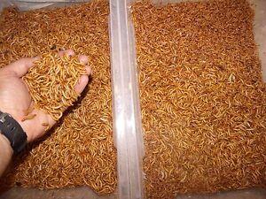 1000 Live Mealworms Medium