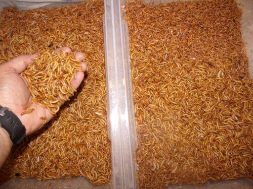 1000 Live Mealworms Medium 3//4