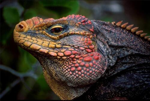 JAMAICA ROCK IGUANA GLOSSY POSTER PICTURE PHOTO PRINT cool lizard wild cute 2097