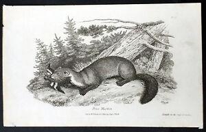 1808 Darton Original Antique Print of a Pine Martin