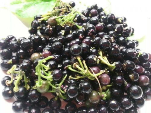 Solanum x burbankii Wonderberry 20+Samen Ertragreiche Frucht