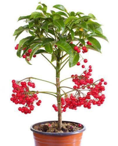 Spitzblume !i Zimmerpflanze mit dekorativem aussehen i rote Beeren.