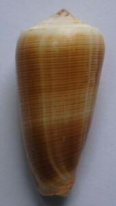 edspal-shells-Conus-carinatus-73-8mm-F-Philippine-seashell