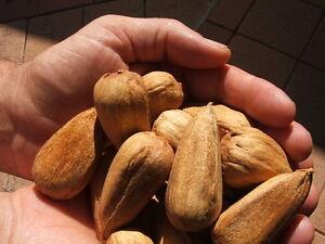 039-BUNYA-NUT-PLANT-039-Arucaria-bidwillii-Pesto-Native-Bush-Tucker-Fruit-Tree