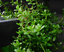 Bacopa-Monnieri-Moneywort-Brahmi-Stem-Bundle-Freshwater-Live-Aquarium-Plants-Ada thumbnail 3