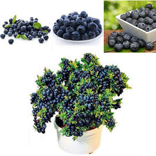 50Pcs Blueberry Tree Seed Ornamental Fruit Berry Potted Bonsai Seeds Plant