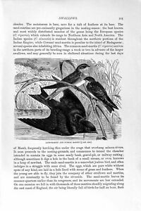 Old Antique Print Natural History 1894-95 Sand-Martin Purple Swallow Bird 19th