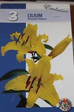 3 Blumenzwiebeln,Lilien.Lilium Oriental Yellow,gelb,All is All#BZ70