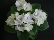 AFRICAN VIOLET PLANT  JOLLY ORCHID    A MINI ALWAYS IN BLOOM