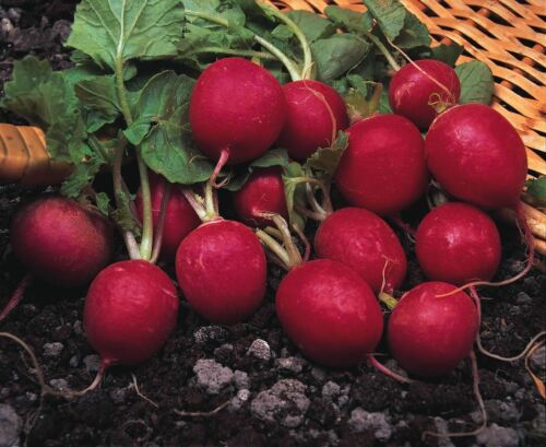 1800 Samen Rettich Gemüse Kirsche Belle