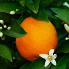 Dwarf Orange Tree Citrus x citrofortunella 1 tree Fruit Grow Your Own Fruit