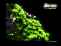 Star Moss - Live Aquarium Plant Fish Tank Java Fern Decoration CO2 Diffuser A3