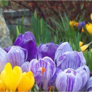 20 Bulbes Fleurs Espèces Crocus Colorées Mix Croissance Automne ...