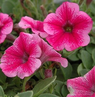 Petunia Express Strawberry vein - 50 Pelleted seeds - Annual