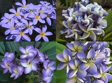 """""""MIXED 4 CUTTING"""" FRAGRANT PLUMERIA 7-12"""" HAVE ROOTED WITH CER. EASY TO PLANT"""