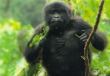 Lentikular - Wackelkarte: Berggorilla - Baby trommelt - Mountain Gorilla baby