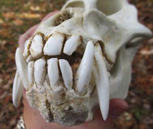 Mandrill-baboon-monkey-ape-skull-taxidermy-REPLICA-cast