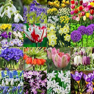 Spring flowering bulbs snowdrops bluebells daffodils tulips image is loading spring flowering bulbs snowdrops bluebells daffodils tulips crocus mightylinksfo