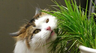 Organic Cat Grass Seeds ★ Rye ★ Great for Digestive System ★ 200+ Seeds   =^..^=
