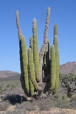 GIGANTE messicano CARDON-Pachycereus pringlei 50 SEMI-ELEFANTE CACTUS
