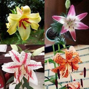 100pcs-Seltene-asiatische-Lilien-Birnen-Samen-die-Lilium-Parfuem-Blumen-Gar-G3K7