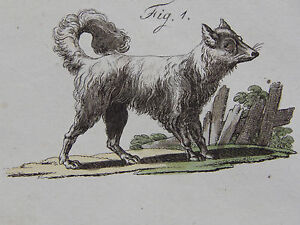 Dogs-c-1740-Copperplate-Engraving-German-01