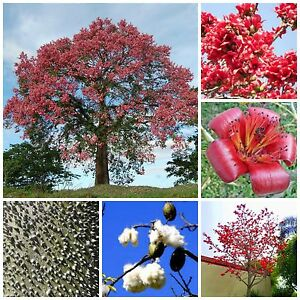 Details about 10 seeds of Bombax ceiba, bottle of fake kapok tree, R