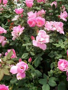 The Fairy Pink Earthkind Rose 2 Gal Size Bush Disease Resistant Shrub Roses Home