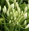 Agapanthus White Diamond 2 L Pot