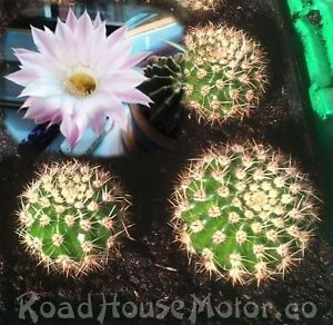 Easter lily cactusechinopsis oxygonarooted beautiful pink image is loading easter lily cactus echinopsis oxygona rooted beautiful pink mightylinksfo