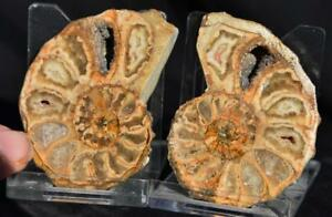 2514 Rare Texas Paire Ammonite 68gm Med 54mm Calycoceras Tarrant Co fuijaPCS-09153519-971995076