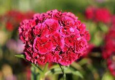 "Bartnelke Dianthus barbatus 300 semillas exóticas ""todo solo 1 euros"""