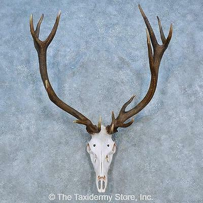 Antlers For Sale >> 15520 E Red Stag Skull Antler European Taxidermy Mount For Sale Ebay