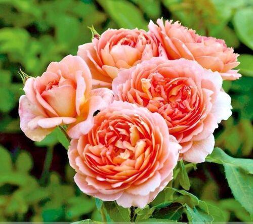 50 Pcs Rare /'Carding Mill/' Orange Rose Shrub with Fragrant Flower Seeds