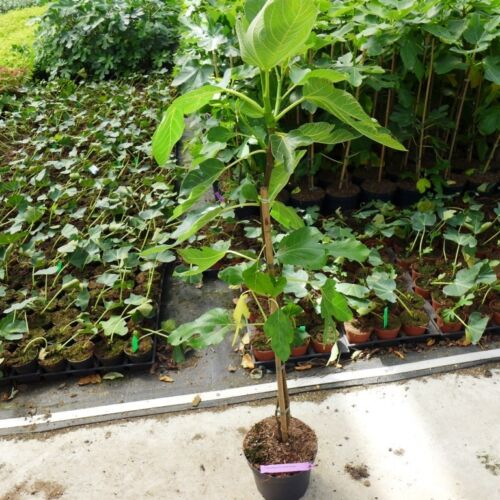 Feigenbaum grise de Tarascon circa 60 cm Ficus carica vile