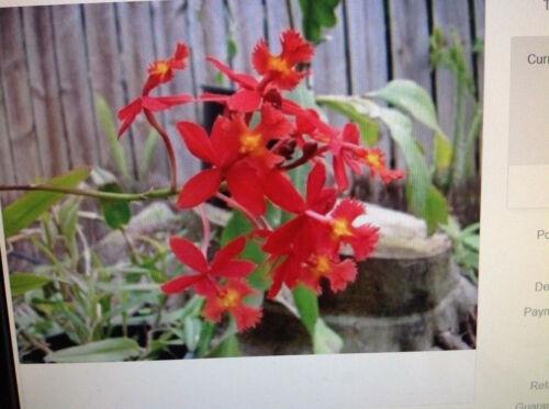 Crucifix Orchid Plant Red x 1 Orange x 1