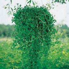 Pennyroyal - (Mentha Pulegium) - 100 seeds