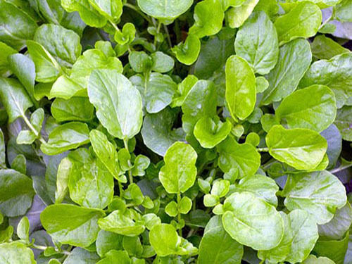 Rich in vitamins and minerals. LAND CRESS Similar to Watercress ORGANIC SEED